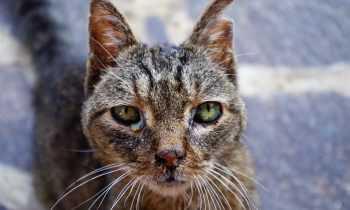 Comment reconnaître un chat qui pleure ?