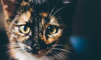 Quel est le caractère d'un chat écaille de tortue ?