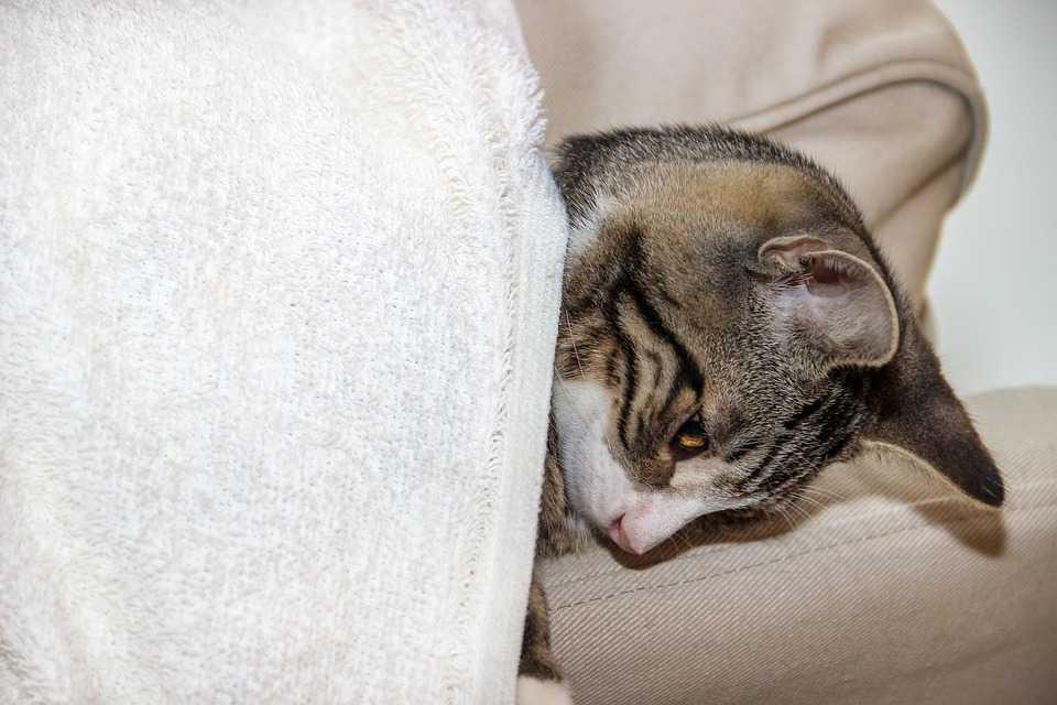 L'écoulement de larme chez un chat