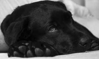 Puis-je donner du Smecta à mon chien ?