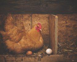 Quelle est la durée de vie d'une poule pondeuse ?